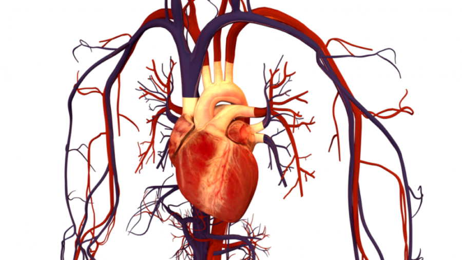 Сердце человека с сосудами