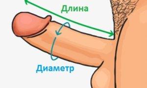 Диаметр, объем и окружность члена. Нормы и отклонения