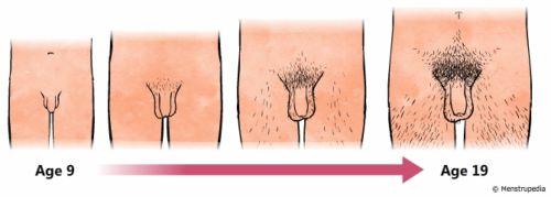 Развитие половых органов